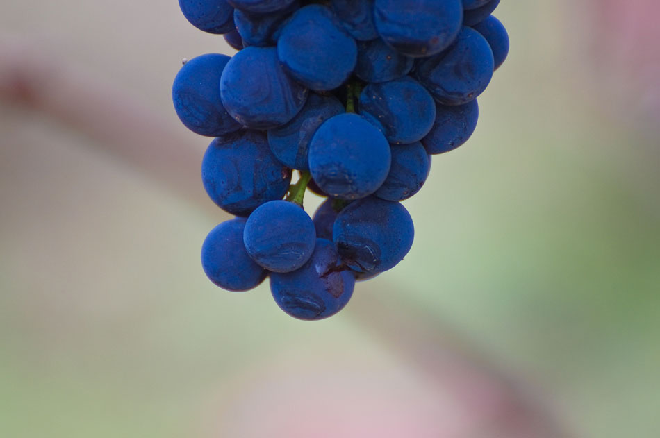 Russian River Grapes